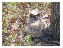 Rescue Great Horned Owl