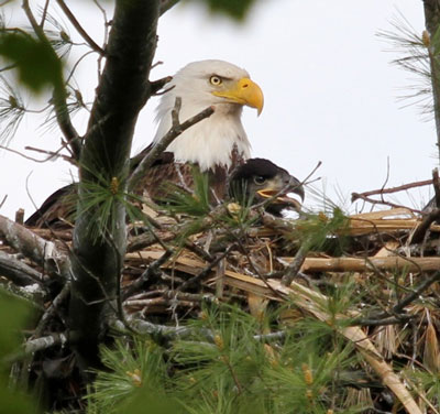 Eagle with baby in nest